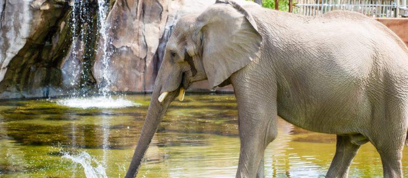 Elephant habit one of best in U S  – WichitaTimesOnline